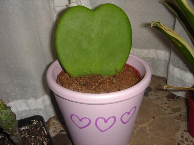 plante cactus coeur. Black Bedroom Furniture Sets. Home Design Ideas