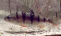Les espèces les plus courantes Perche10