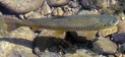 Les espèces les plus courantes Truite11