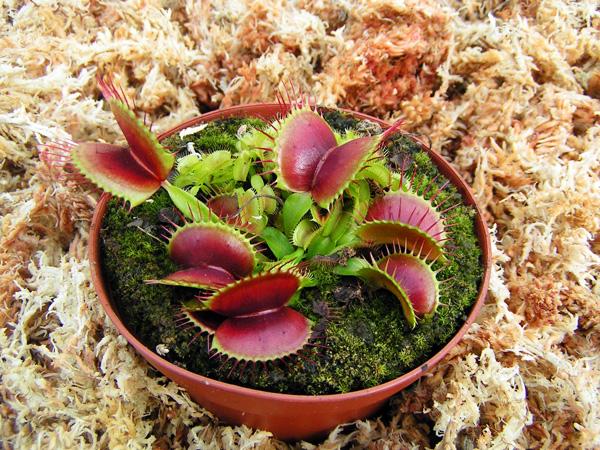 plante carnivore d'appartement