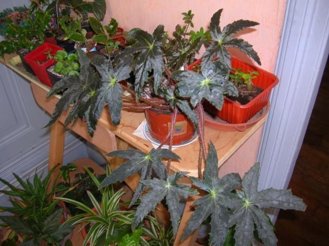 Begonia 'Helene Jarros' (rhizomateux) Begoni10