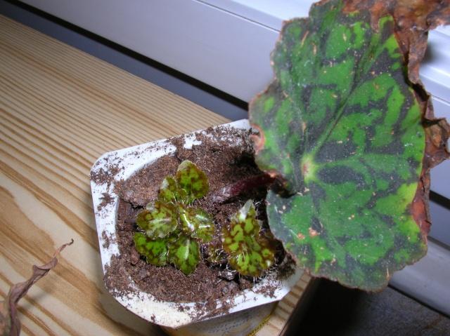 Begonia 'Norah Bedson (rhizomateux) Begoni14
