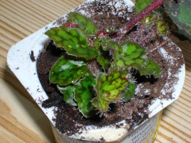 Begonia 'Norah Bedson (rhizomateux) Begoni16