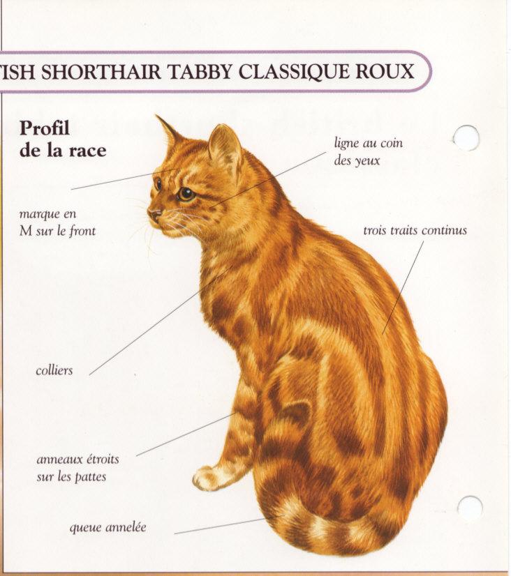 Le British shorthair tabby classique roux Img10