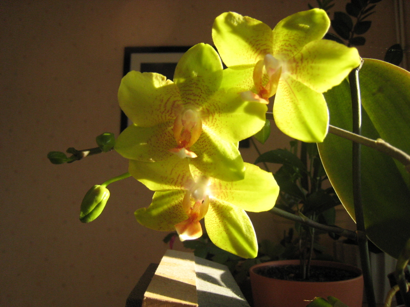 Phalaenopsis diverses Phalae10