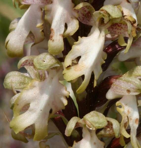 Himantoglossum robertianum (Barlia, Orchis géant ) Barlia13