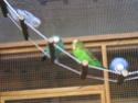 Jouets appréciés pour perruches Echell10
