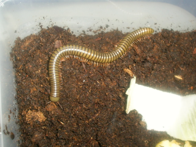 Spirostretidae spec 2 S4023413