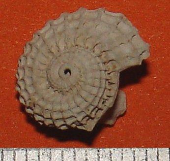 [résolu]Austroliotia warnii (Defrance,1818) Liotia10