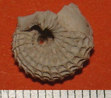 [résolu]Austroliotia warnii (Defrance,1818) Liotia11