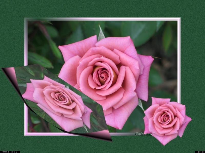 Les roses. - Page 7 3c38e510