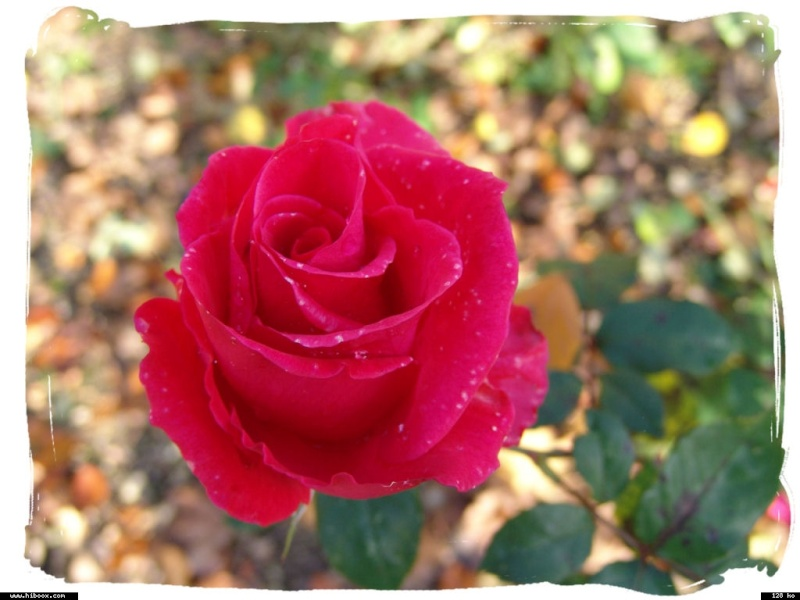 Les roses. - Page 7 4e562e10