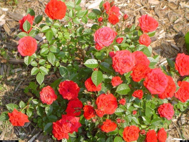 Les roses. - Page 7 C04a1310