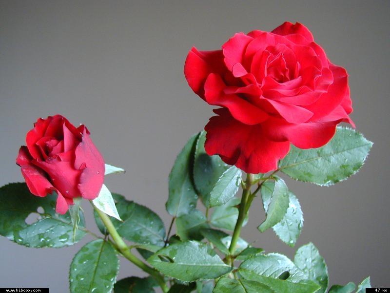 Les roses. - Page 7 C4017510