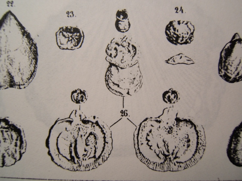 TREFUMEL : 1 espèce des faluns (mollusque ?, bryozoaire ?..) Dscf0710