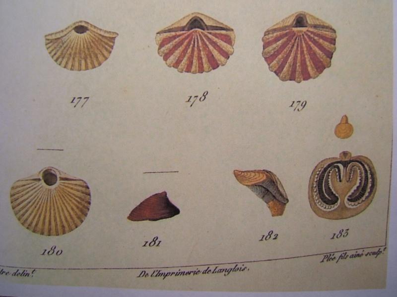 TREFUMEL : 1 espèce des faluns (mollusque ?, bryozoaire ?..) Dscf0713
