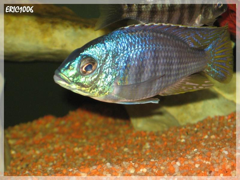 Pr sentation de mes 7 bacs de cichlid s de 4000litres for Bac hopital poisson