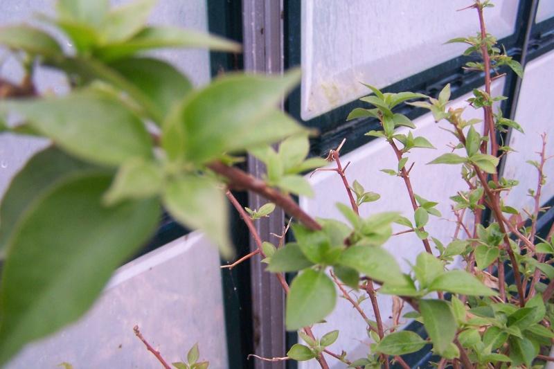 Bougainvillier perds ses fleurs au jardin forum de jardinage - Mon olivier perd ses feuilles ...
