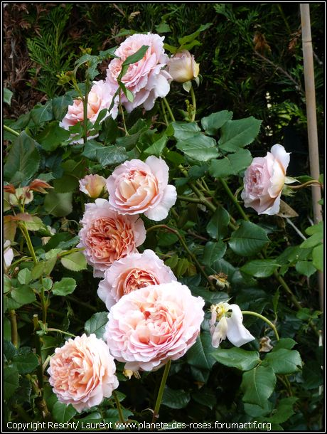 Abraham darby arbuste anglais for Arbuste en anglais