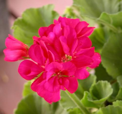 Les g raniums - Quand rentrer les geraniums ...