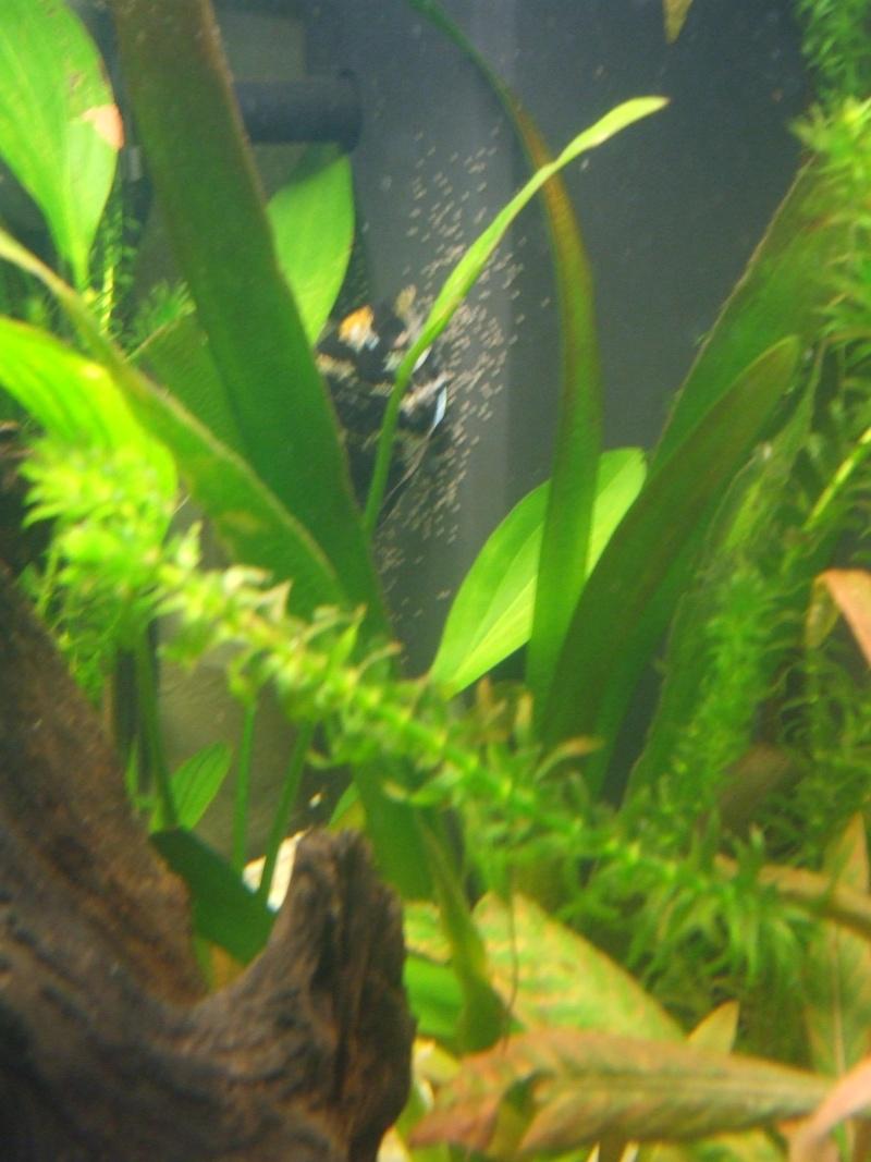 des oeufs de dans mon aquarium