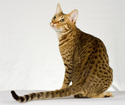 Lynx House Cat Cost