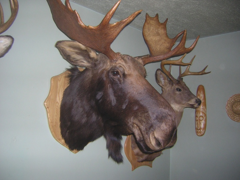 taxidermie orignal