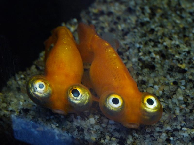 Poisson rouge for Acheter poisson rouge liege